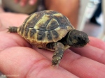 Una delle baby tartarughine di Lia
